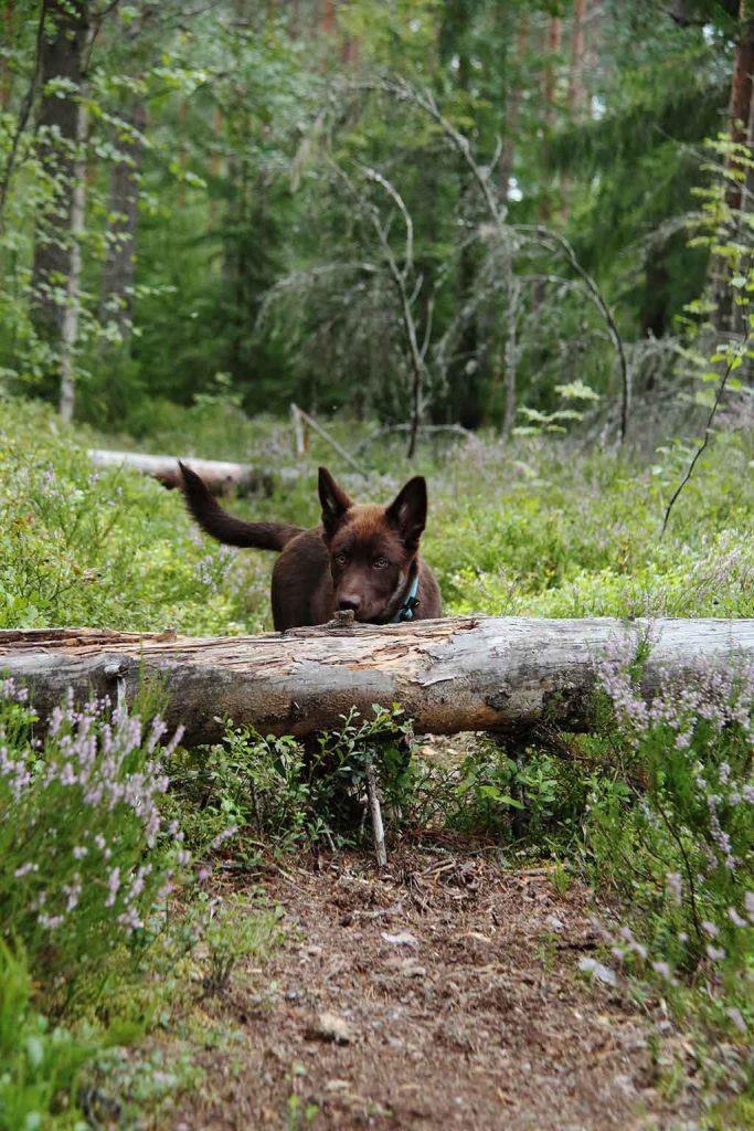 Koirasi ja sinun suhteesi paranee ja koiran arjesta tulee helpompaa koulutuksessa opittujen taitojen kautta.