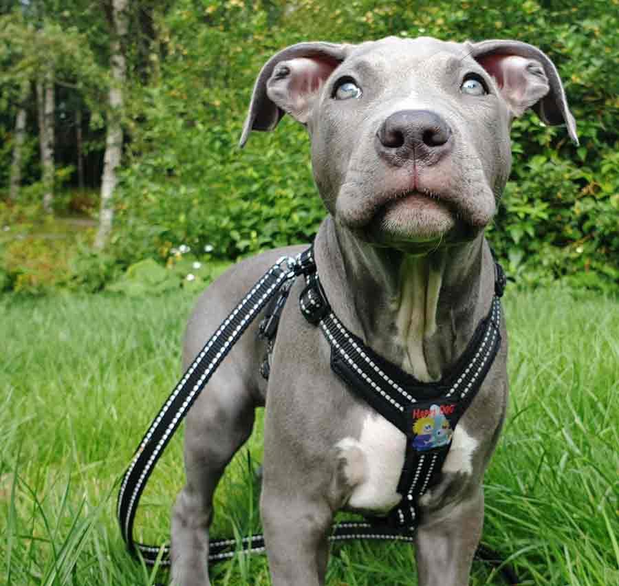 Koirilta vaaditaan jatkuvasti asioita, jotka ovat niiden luontaisen käyttäytymisen vastaisia.