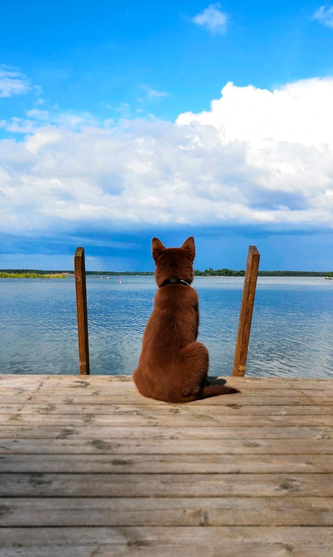 Koira istuu laiturilla ja katselee järvelle - miettiikö koirakoulua?